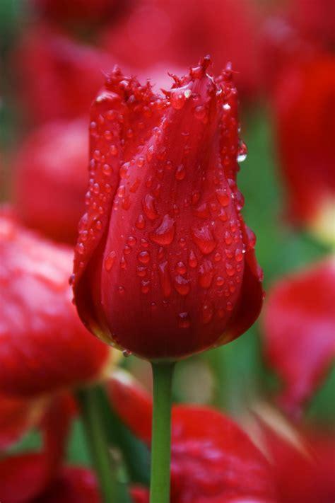 Home Cad Software red calibra tulip plant amp nature photos heaven s photoblog