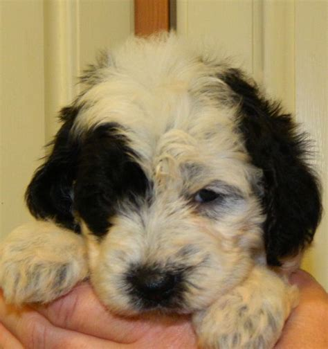 cockapoo puppies available for sale cockapoo puppies in whitby