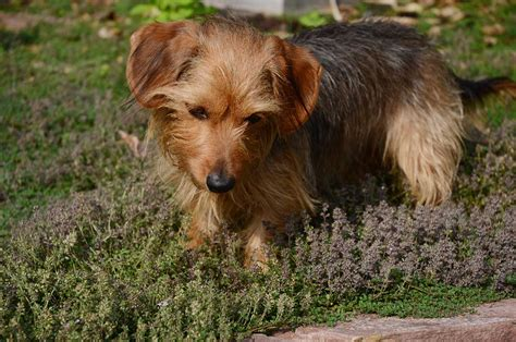 short haired dorkie mixes dorkie dog breed 187 everything about dachshund yorkie mixes