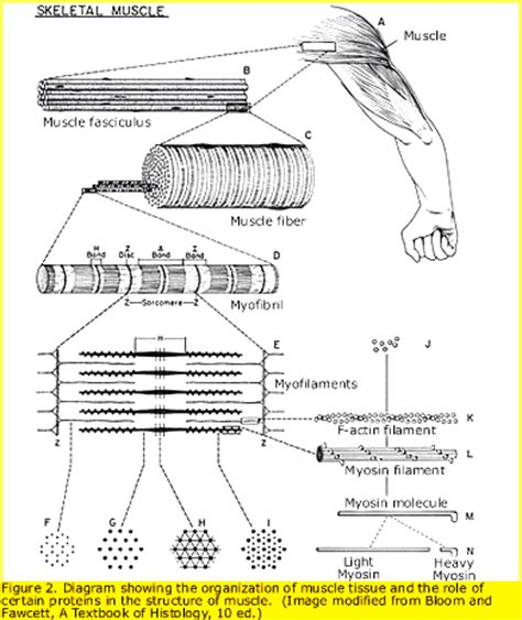 the diagram illustrates a small portion of several myofibrils neuromuscular disease research beggs lab boston