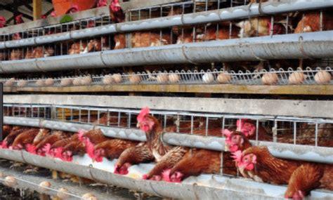 Vaksin Dan Vitamin Ayam Petelur panduan lengkap ternak ayam petelur yang mudah bagi pemula
