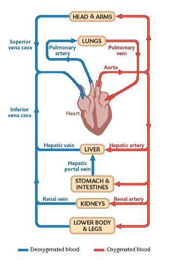 live layout quizlet circsystemsunsig09r3b a the circulatory system and its