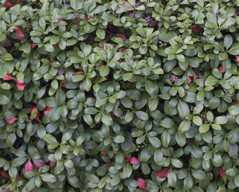 hedge plants with berries www imgkid com the image kid has it