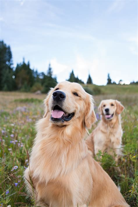 becky golden retrievers pretty fluffy