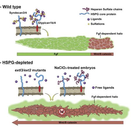heparan sulfate proteoglycans regulate fgf signaling  cell polarity  collective cell