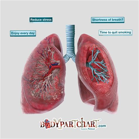 lung cross section lungs cross section bodypartchart official site