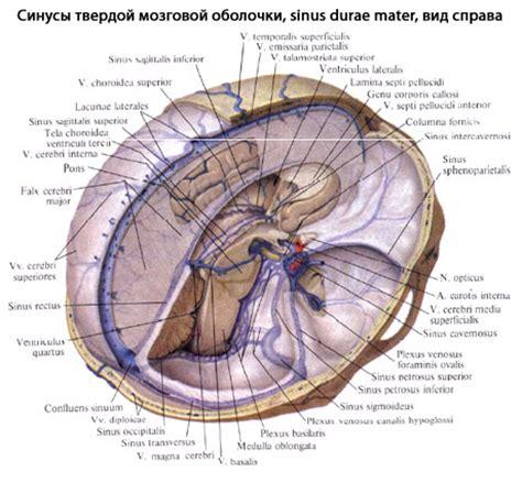 vasi cerebrali