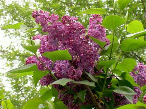 fiori in francese i fiori da giardino lilac comuni lilla francese syringa