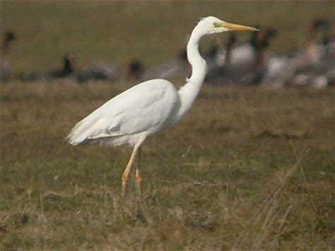 is this a heron egret or crane the national wildlife