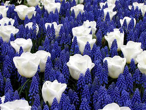 blue flower bulbs blue and white bulbs for sale buy for 163 4 99