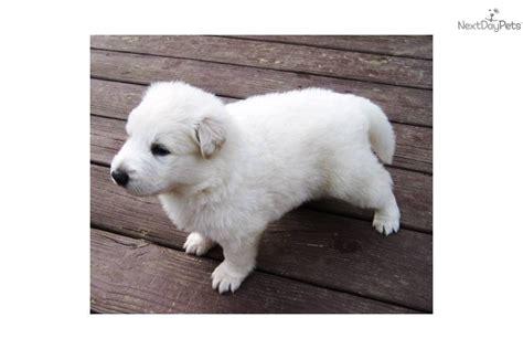 white german shepherd puppies ohio white german shepherd puppies in ohio