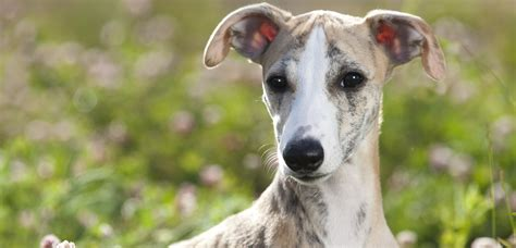 home virginia greyhounds