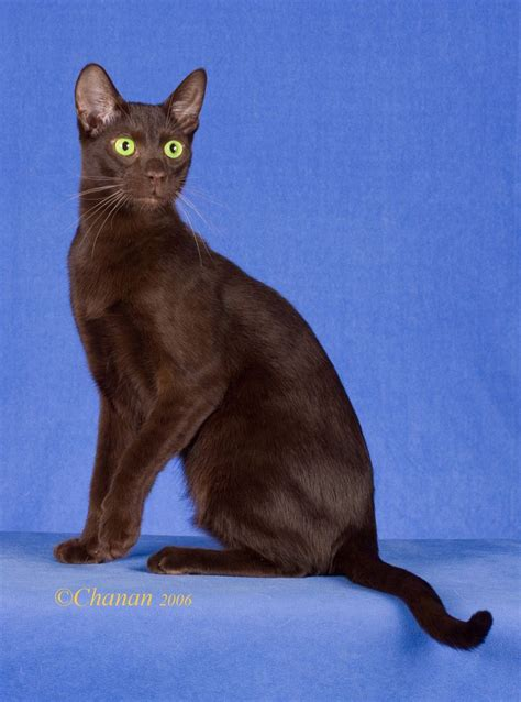 brown breeds 400 best images about brown cat on cats brown and green