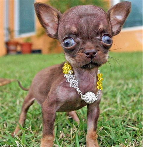 smallest puppy world s smallest milly the chihuahua is 3 8 inches high daily mail
