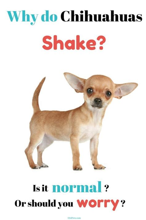 why do dogs shake whydochihuahuasshakepin chi pets