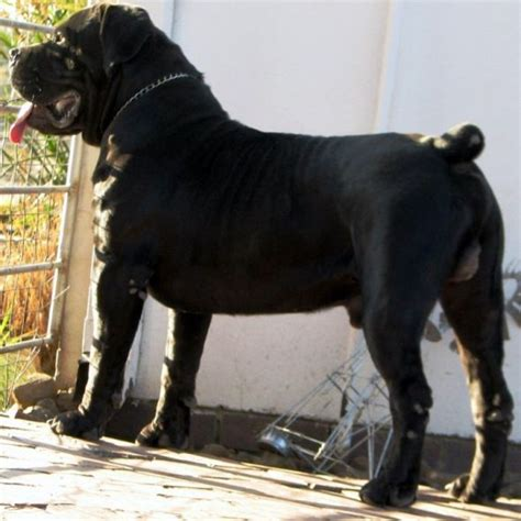 boerboel and rottweiler crossbreed 231 best images about south boerboel on beautiful dogs south