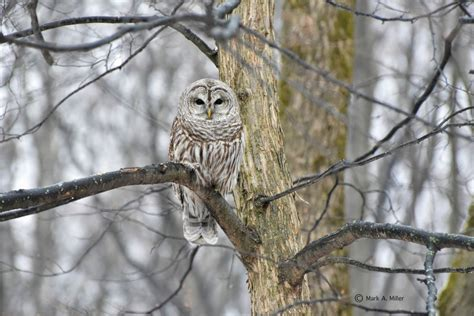 know your leelanau birds barred owl leelanau com
