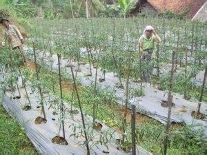Bibit Cabe Tm 999 petani berdasi cabe rahong tm 999 ungulan petani dari