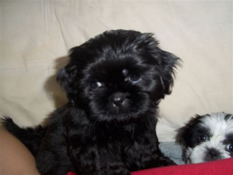 black and white shih tzu puppies for sale solid black shih tzu puppys and black white st helens merseyside pets4homes