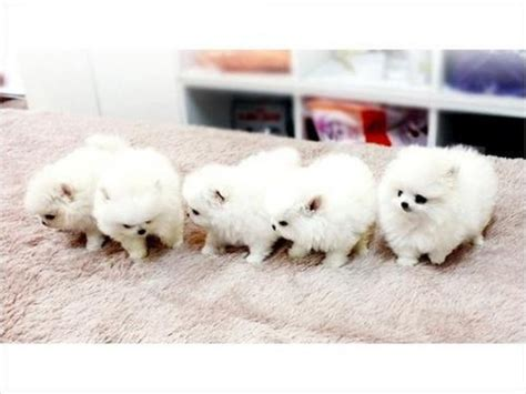 4 week pomeranian puppies 4 healthy males and 12 weeks teacup pomeranian puppies for adoption offer