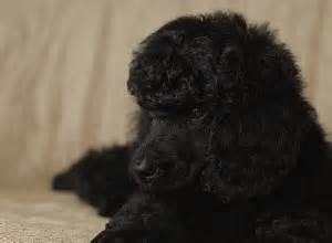 yorkie poo puppies for sale in chattanooga tn 147 best black poodles images on poodles poodles and adorable animals