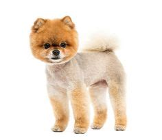 teacup pomeranian puppies for sale 250 1000 ideas about pomeranian puppies for sale on