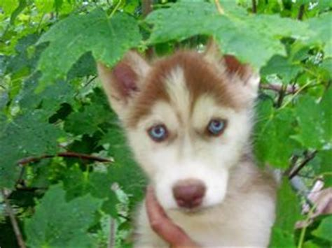 siberian husky puppies for sale in michigan siberian husky puppies in michigan