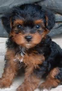 yorkie doodle puppies for sale yorkie poo puppies for sale looking for a femal