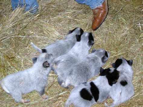and blue heeler puppies all list of different dogs breeds blue heeler puppy pictures