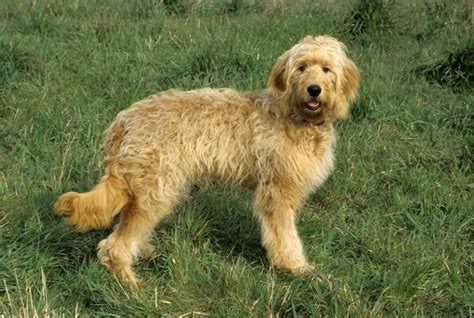 goldendoodle lifespan goldendoodle breed information buying advice photos