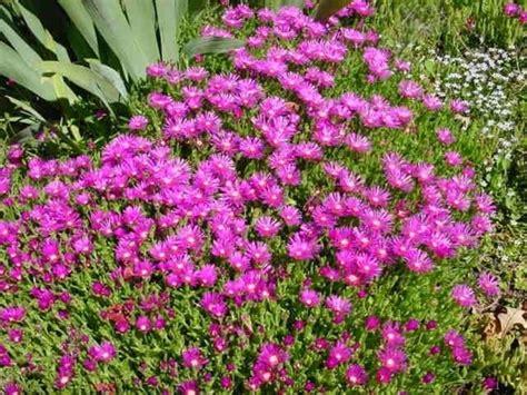piante grasse fiorite da esterno piante grasse da giardino piante grasse il giardino