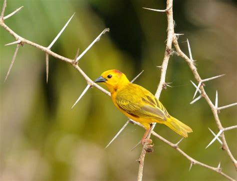 Golden Bird mystery bird taveta golden weaver ploceus castaneiceps