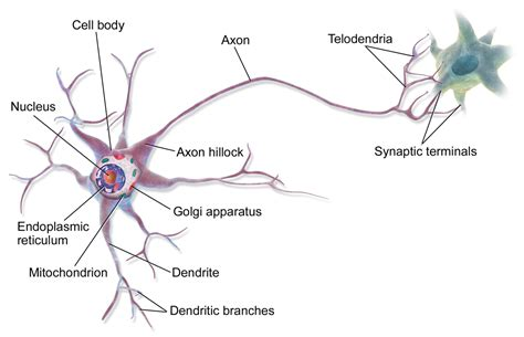 labelled diagram of nerve cell labelled diagram of human nerve cell neuron