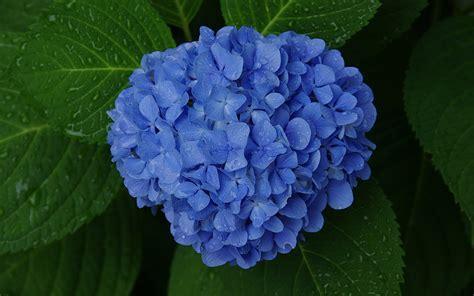 wallpaper blue hydrangea blue hydrangea wallpaper 1102821