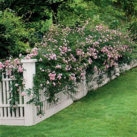 fast growing climbing plants for fences climbing roses easy growing flowers for fences picket