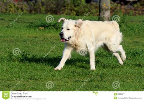 golden retriever running golden retriever running royalty free stock photography image 35332677