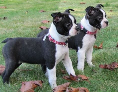 boxer boston terrier mix puppies for sale 17 best ideas about boston terrier boxer mix on boxer puppies boston