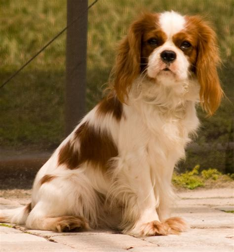 king cavalier cavalier king charles spaniel cocker spaniel mix wallpaper