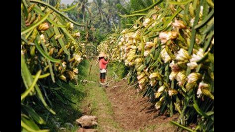 Bibit Buah Naga Banyuwangi 087 784 795 307 jual bibit buah naga jatim banyuwangi
