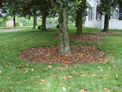 Magnolia Tree Shedding Leaves by Plant Profile Southern Magnolia Magnolia Grandiflora
