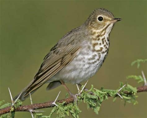 north carolina mountain birds swainson s thrush