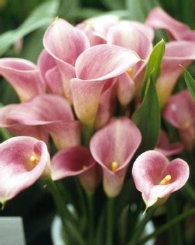 light pink mini callas