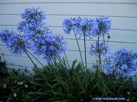 86 best images about agapanthus on pinterest gardens