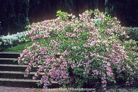 weigela florida flowering shrub flowers for florida