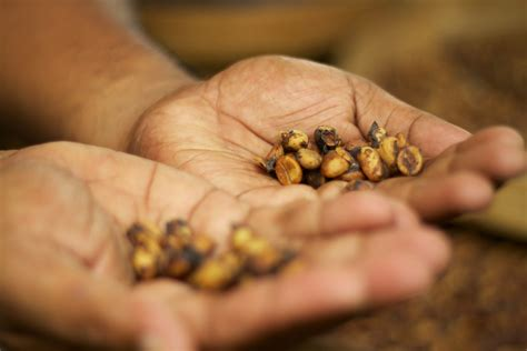 Kopi Coffee Bean kopi luwak coffee the most expensive coffee in the world