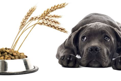 is grain bad for dogs are grains bad for dogs lucky cuisine canada