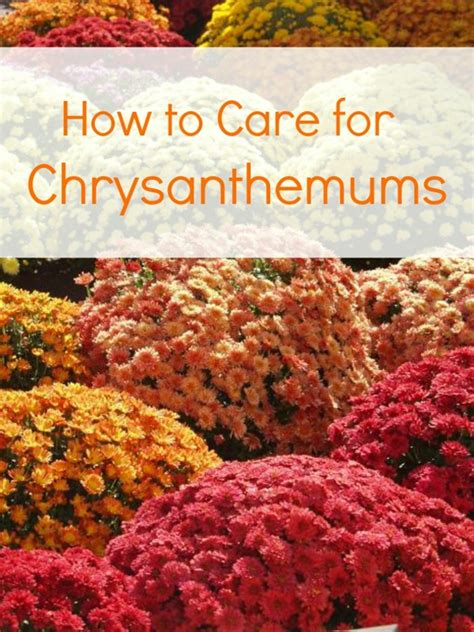 how to care for chrysanthemums the home and garden cafe