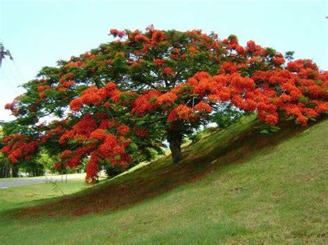 Benihbijibibit Bunga Bonsai Flamboyan Orange flamboyan one of my favorite trees in flamboyanes trees beautiful