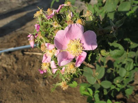what do american in california rose for new year california plants at panorama vista preserve