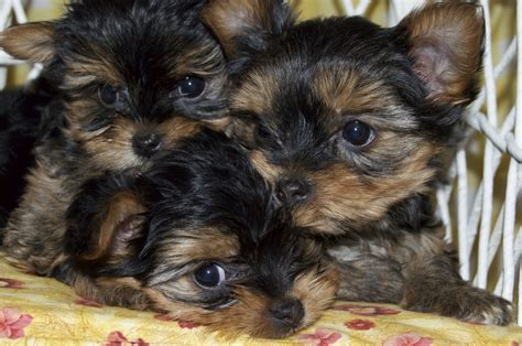 yorkie tails minnesota yorkie tails minnesota yorkie tails
